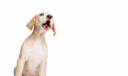 maly pies szczeka