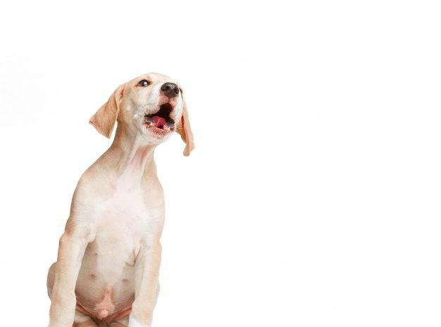Szczekanie psa – dlaczego pies szczeka?