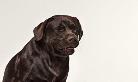 chory labrador