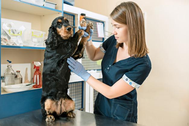 weterynarz bada brzuch psa