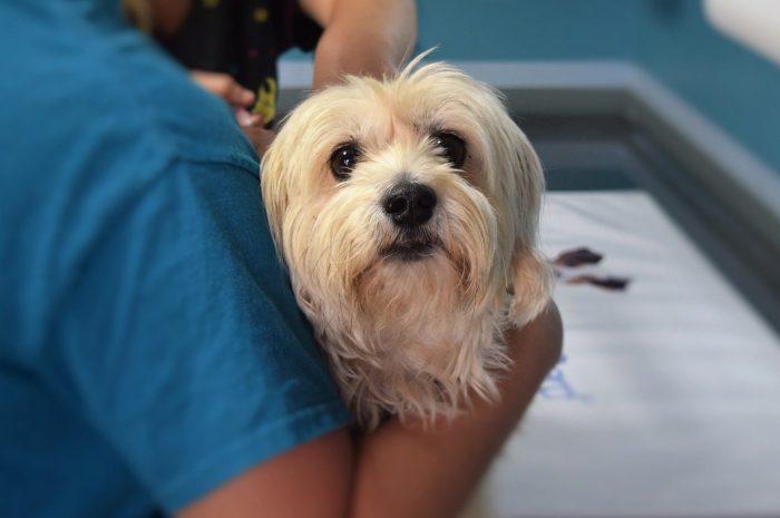 Przepuklina u psa – wszystkie rodzaje, objawy, przyczyny i leczenie