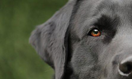 ucho czarnego psa
