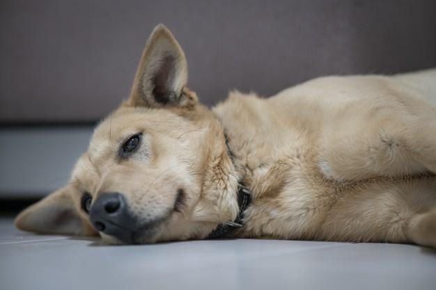 pies z biegunka