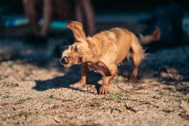 Pies trzepie uszami lub głową. Sprawdź dlaczego!
