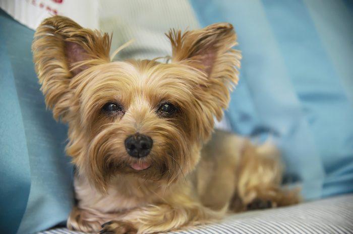 Psy, które nie gubią sierści (nie linieją) – 12 ras psów