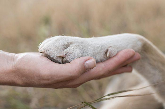 Oderwana, pęknięta, czy rozcięta poduszka u psa. Jak zrobić opatrunek na łapę?