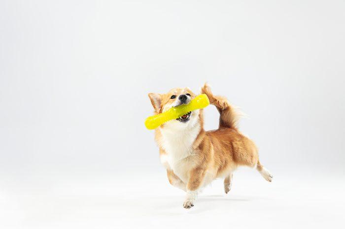 Pieski miniaturki – jakie są najmniejsze rasy psów?