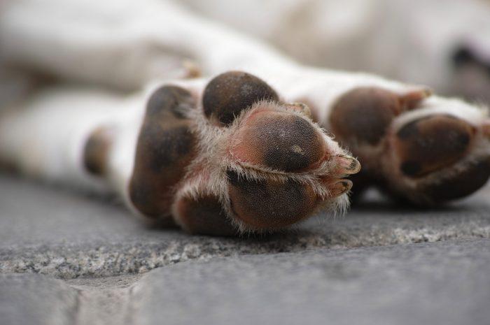 Spuchnięta łapa u psa – jak leczyć?