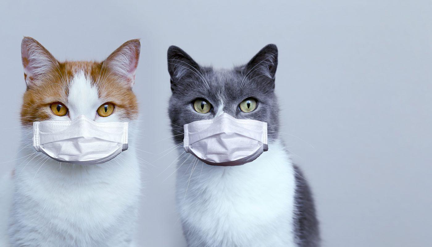 koty w maseczkach