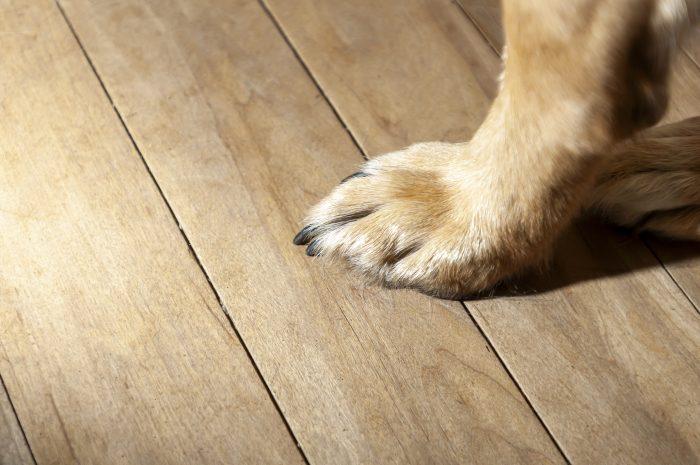 Złamany, wyrwany, naderwany pazur u psa – co robić gdy krwawi?