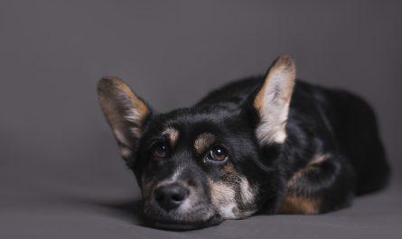 pies lezy na podlodze i patrzy na wlasciciela