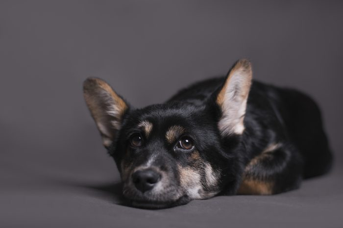 Twardy brzuch u psa – czy zawsze oznacza wzdęcia i zagazowane jelita?