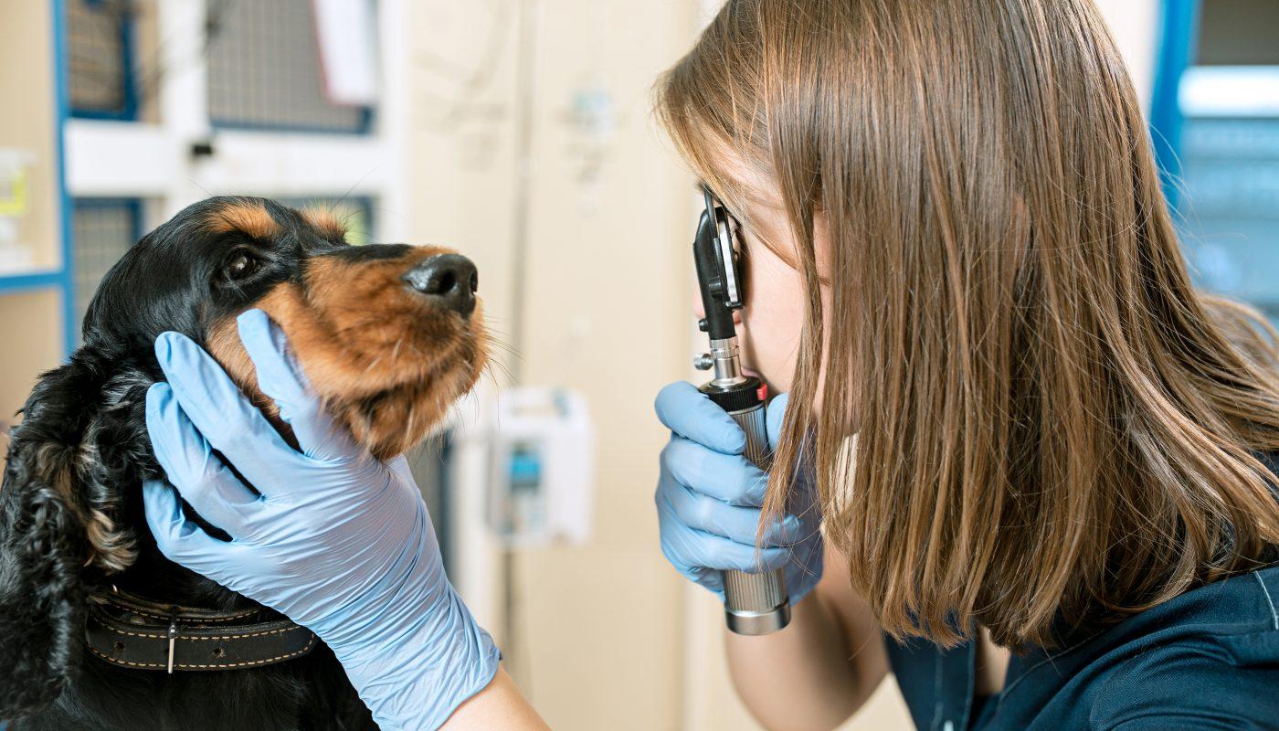 weterynarz bada psa po udarze mozgu