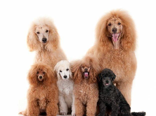 Małe rasy psów – poznaj nasze TOP 10